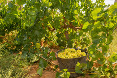 Chardonnay harvesting with wine grapes harvest Stock Photography