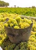 Chardonnay moissonnant avec la récolte de raisins de cuve photo libre de droits