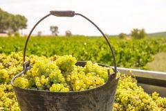 Chardonnay moissonnant avec la récolte de raisins de cuve photos stock