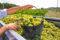 Chardonnay plockning med skörden för vindruvor Royaltyfri Bild