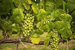 Chardonnay stilleben Arkivbilder