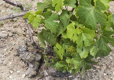 Chardonnay Vine. In a Champagne vineyard near Oger and Epernay, France Stock Images