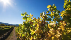 Chardonnay vines Royalty Free Stock Images