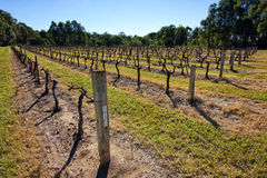 Chardonnay vineyard Stock Images