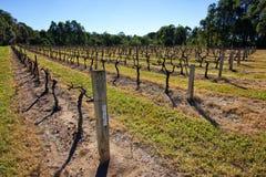 Chardonnay vingård Arkivbilder