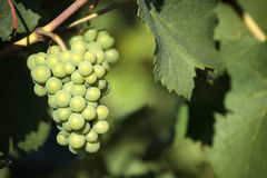Chardonnay white wine grapes growing vineyard burgundy france closeup Royalty Free Stock Images