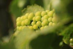 Chardonnay wijn in een wijngaard Royalty-vrije Stock Foto's