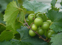 Chardonnay Wine Grapes Royalty Free Stock Photo