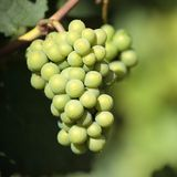 Chardonnay wine grapes growing vineyard burgundy france closeup. Square format Royalty Free Stock Photography
