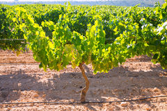 Chardonnay Wine grapes in vineyard raw ready for harvest Royalty Free Stock Photo