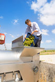 Chardonnay wine grapes winemaker in destemmer royalty free stock photos