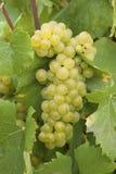 chardonnay winogrona Zdjęcia Royalty Free