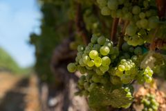 Chardonnay winogrona grono Obrazy Stock