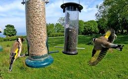 Chardonneret alimentant d'un conducteur de graine d'arachide de tube à une table en Irlande photos stock