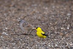 Chardonneret américain masculin minuscule vu sur la position au sol dans son plumage jaune vibrant de ressort photos stock