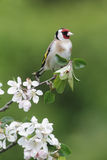 Chardonneret, carduelis de Carduelis photo stock