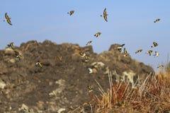 Chardonneret européen en vol sur un fond du sable de montagnes Images stock