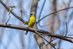 Chardonneret masculin dans le plumage d'élevage Photographie stock