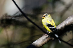Chardonneret masculin de chant changeant en le plumage d'élevage Photographie stock libre de droits