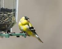 Chardonneret masculin Transitioning au plumage d'été photographie stock