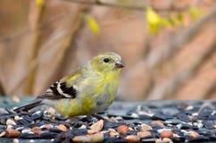Chardonneret Transitioning au plumage d'été images libres de droits