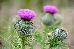 Chardons écossais Photos libres de droits