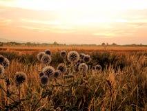 Chardons dans le coucher du soleil image stock