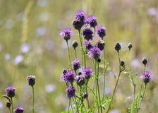 Chardons de fleurs sauvages images stock