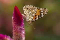 Chardons del DES de Vanesse de la mariposa Foto de archivo libre de regalías