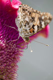Chardons del DES de Vanesse de la mariposa Fotografía de archivo libre de regalías