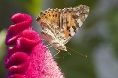 Chardons del DES de Vanesse de la mariposa Fotografía de archivo