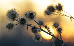 Chardons secs au coucher du soleil Image libre de droits