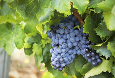 Chareauneuf de Pape grapes Royalty Free Stock Image