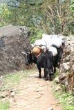 Charge de Dzo dans le voyage de l'Himalaya images libres de droits