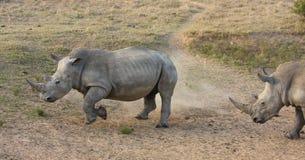 Charge de rhinocéros. Image libre de droits