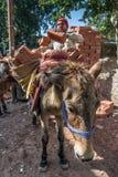 Charge indienne de travailleur d'Unidentificate un âne avec des briques Image stock