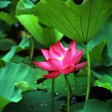 Charge. Lotus stalk is perennial aquatic herb, petiole and pedicel of water lily, also known as lotus root, lotus pole and lotus leaf stalk. The gas is slight Royalty Free Stock Images