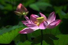 Charge. Lotus stalk is perennial aquatic herb, petiole and pedicel of water lily, also known as lotus root, lotus pole and lotus leaf stalk. The gas is slight Royalty Free Stock Photography