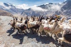 Charge lourde de transport de troupeau de lamas, montagnes de la Bolivie Photographie stock