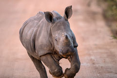 Charging Baby White Rhino. In Kruger National Park, South Africa stock photos