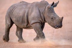 Charging Baby White Rhino Stock Images