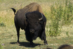 Charging Bison Royalty Free Stock Photos