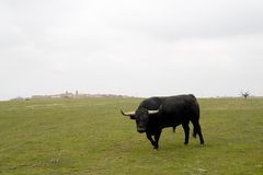 Charging Bull Stock Photography