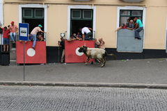 A charging bull scares onlookers. A loose bull runs against a barrier in Angra do Heroísmo while a crowd reacts during the Sanjoaninas. Some escaped into a Royalty Free Stock Photos