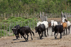 Charging Bulls and Horses Stock Image