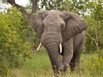 Charging Elephant Stock Photography