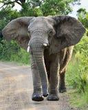 Charging Elephant. Elephant in Hluhluwe-Umfolozi Game Reserve, South Africa Stock Photos