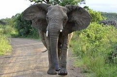 Charging Elephant. Elephant at Hluhluwe-Umfolozi Game Reserve, South Africa Royalty Free Stock Images