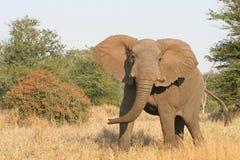 Charging elephant royalty free stock photography