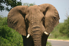 Charging elephant. Elephant in a foul moood charging my car Royalty Free Stock Photography